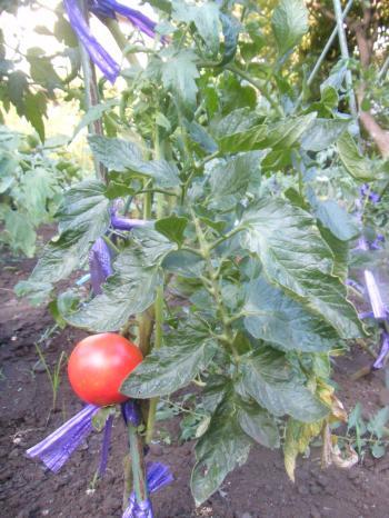 tomato-2011