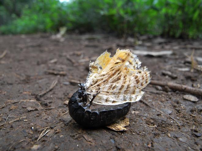 ウラナミアカシジミを食べるオオヒラタシデムシ