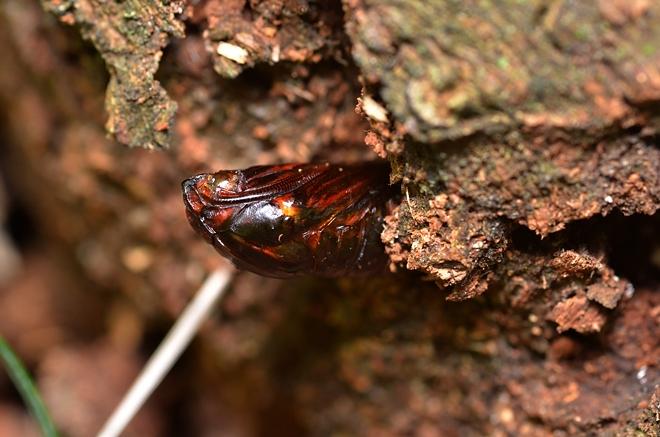 キタスカシバの蛹