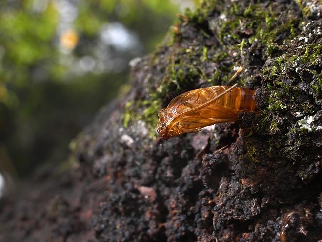 コスカシバの羽化殻2
