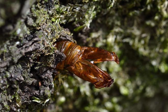 コシアカスカシバの羽化殻1