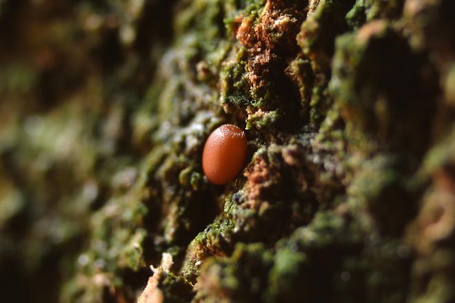 コシアカスカシバの卵1