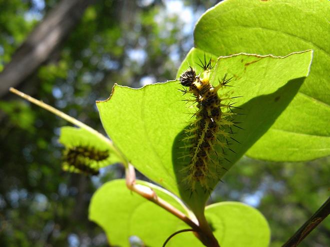 ルリタテハ幼虫1