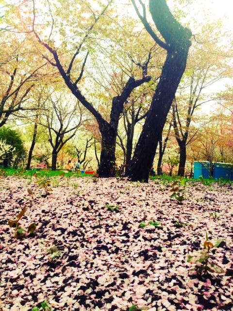 北海道神宮桜02