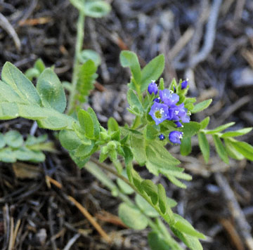 Showy Polemonium', Yosemite NP, CA_DSC0140-7.9.10 (2).jpg