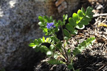 Showy Polemonium, Yosemite NP, CA_DSC0133-7.9.10 (2).jpg