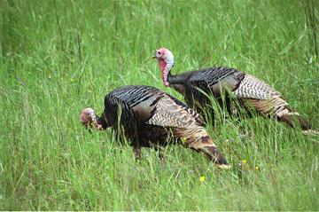 blog Wild Turkey 10, Sunol-Ohlone Reg,Park-4.20.04.jpg