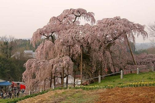 三春町の滝桜