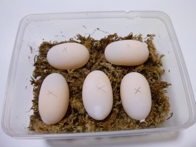 ビルマホシガメの卵