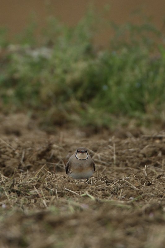 ツバメチドリ