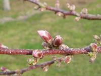 H230415川中島白桃の蕾