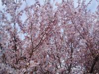 H230415小彼岸桜