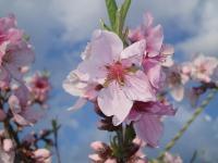 H230424初々しいモモ花
