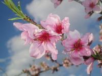 H230424盛りのモモ花