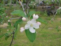 H230503フジの花