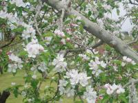 H230503王林の花