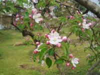 H230430王林の花