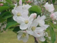 H230503シナノスイートの花