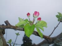 H230430シナノゴールドの花