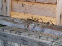 H230508ミツバチ不穏な動き