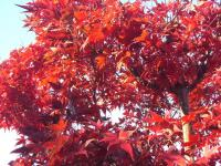H231122今冬一の寒さの紅葉