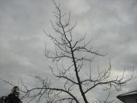 H240117果樹剪定開始
