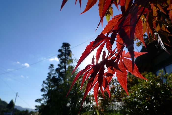 秋の香り 椛 紅葉