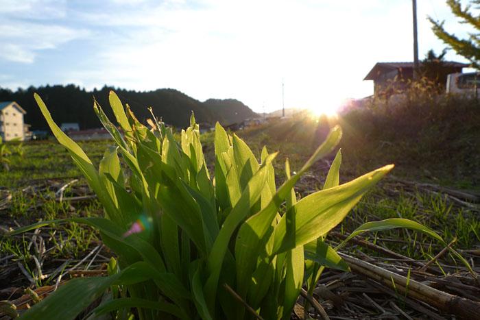 秋の風景 トウモロコシ