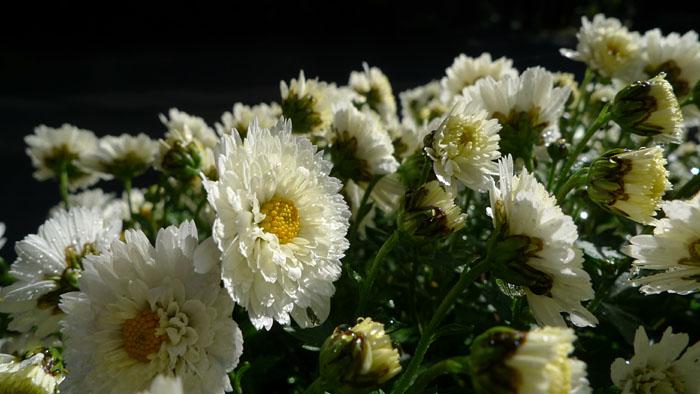 菊花展 菊