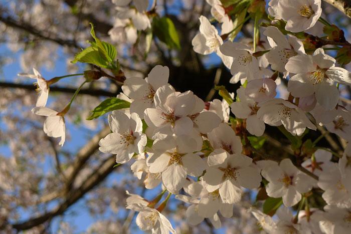 桜前線 桜の季節