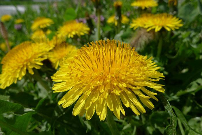 タンポポ 春の花