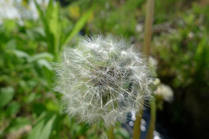 たんぽぽ 春の花
