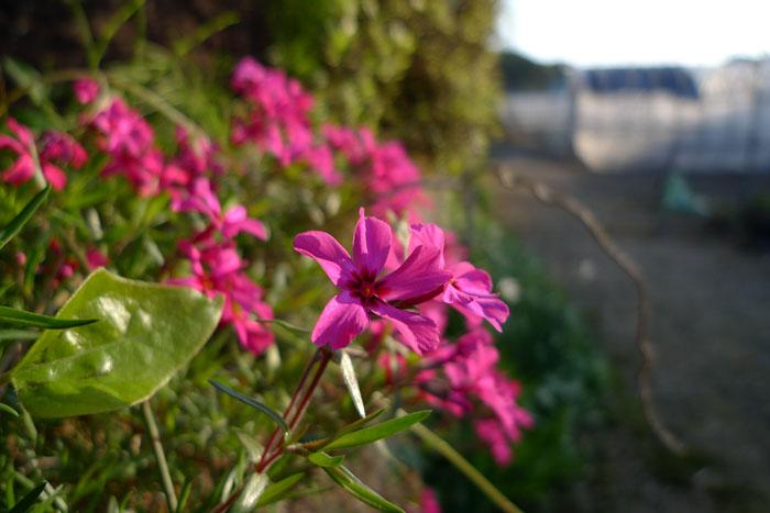 春の花 ひだ 高山