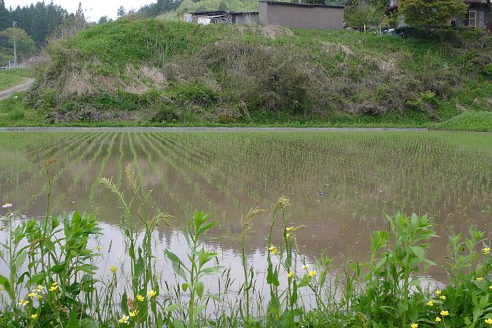 農繁期 田植え コシヒカリ
