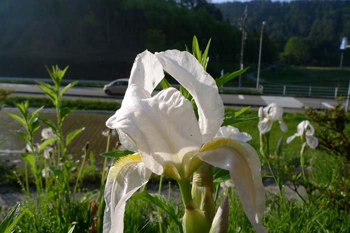 花菖蒲 花