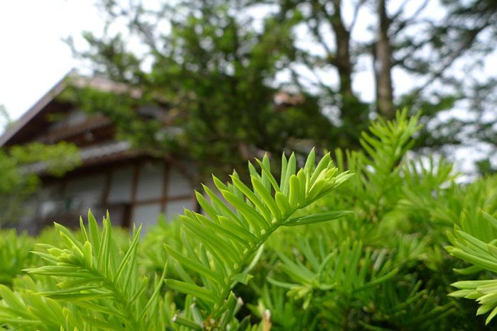 櫟 いちい 新緑