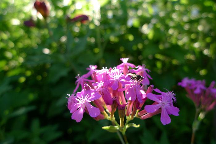夏至 花 はな 華