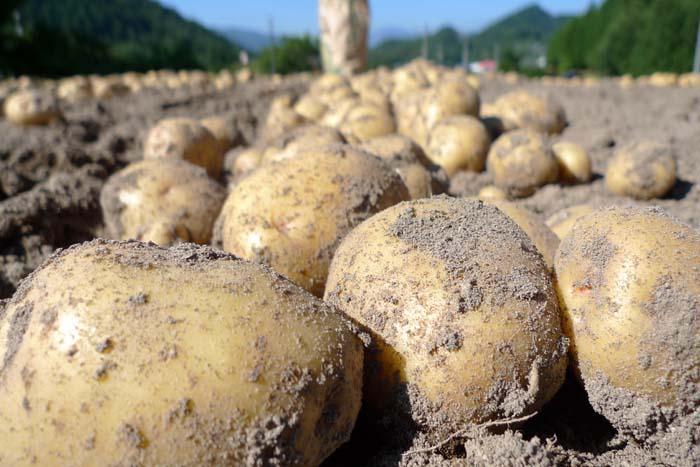 ジャガイモ 収穫 キタアカリ 男爵 メークイン