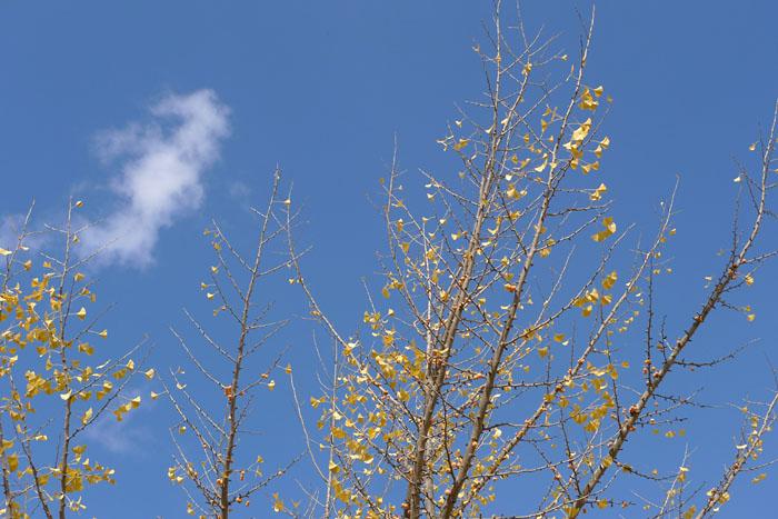 秋の終わり イチョウ