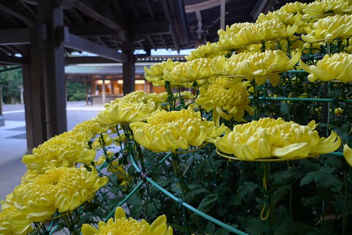 菊 2012 伊勢神宮 2