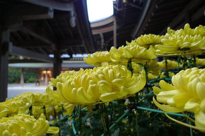 菊 2012 伊勢神宮 3