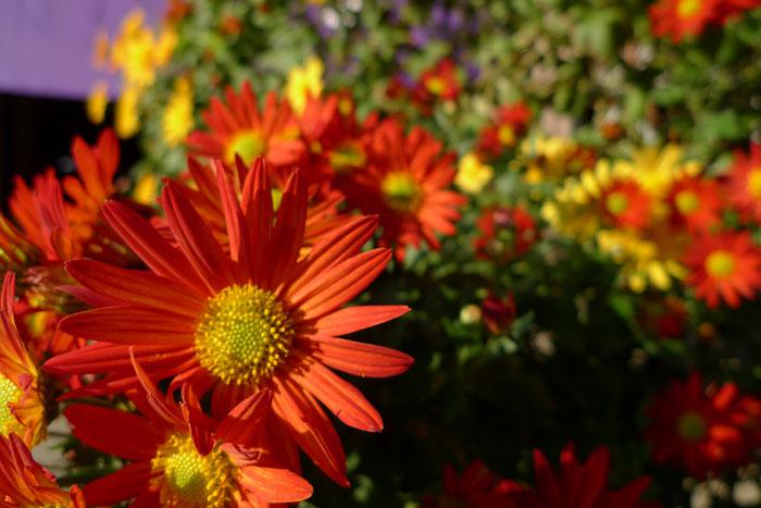 農作業 冬 2013 菊