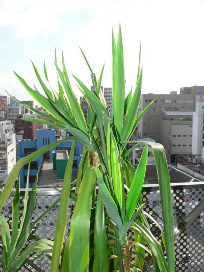 写真キャプション=頭頂部から3 ヵ所、幹の上部から1ヵ所の新芽を出した下半身