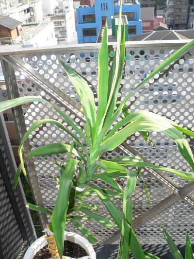 写真キャプション=垂れていた葉が持ち上がり、新葉を出して成長を始めた上半身