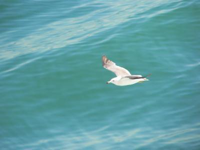 写真キャプション=新潟港から付いてきてきれいな飛行を見せてくれたカモメ