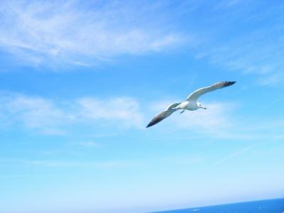 写真キャプション=佐渡から付いてきて雄大な飛びを見せてくれたカモメ