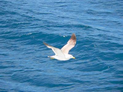 写真キャプション=佐渡の海上を気持ちよさそうに飛ぶカモメ