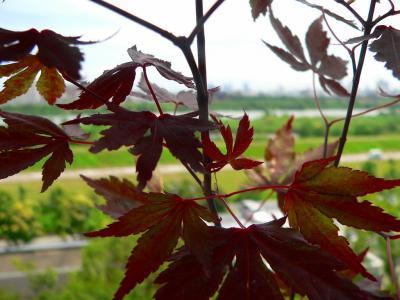 写真キャプション=中央の小さな葉が出てきて、「赤モミジ」の復活を確信して狂喜した