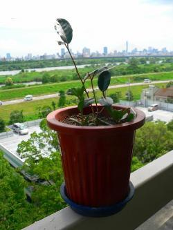 写真キャプション=GWに和歌山から持ってきた大樹の苗。2ヵ月の沈黙期間を経て、やっと新葉の芽を確認できた