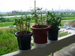 写真キャプション=この3鉢は佐渡から持ってきたもの。持ってきてから次々と新葉が出て順調に成長している